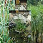 Mix piante fitodepurazione