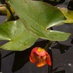 Nuphar japonica rubraticum