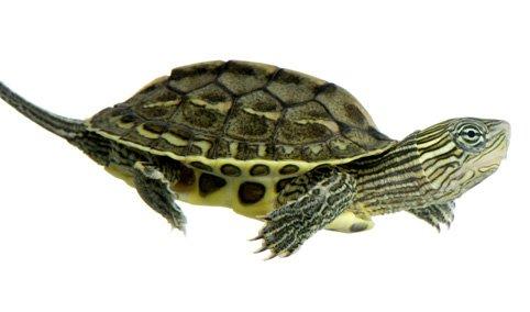 Mangimi tartarughe acquatiche