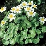 "Caltha palustris ""alba"""