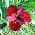 Iris louisiana red