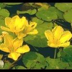 Nymphoides peltata 1 pianta