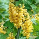 Ribes bianco