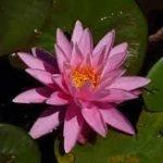 Ninfea rose arey