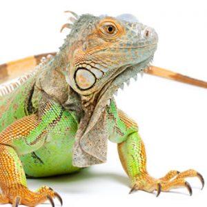 Mangimi per iguana