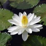 Ninfea lotus