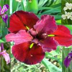 Piante di iris mix