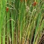 Typha gracilis