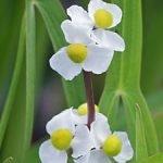 Sagittaria japonica